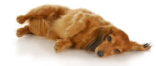 Cómo detectar si tu perro está mareado