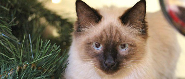 Gato Himalayo: Todo sobre esta raza de felino