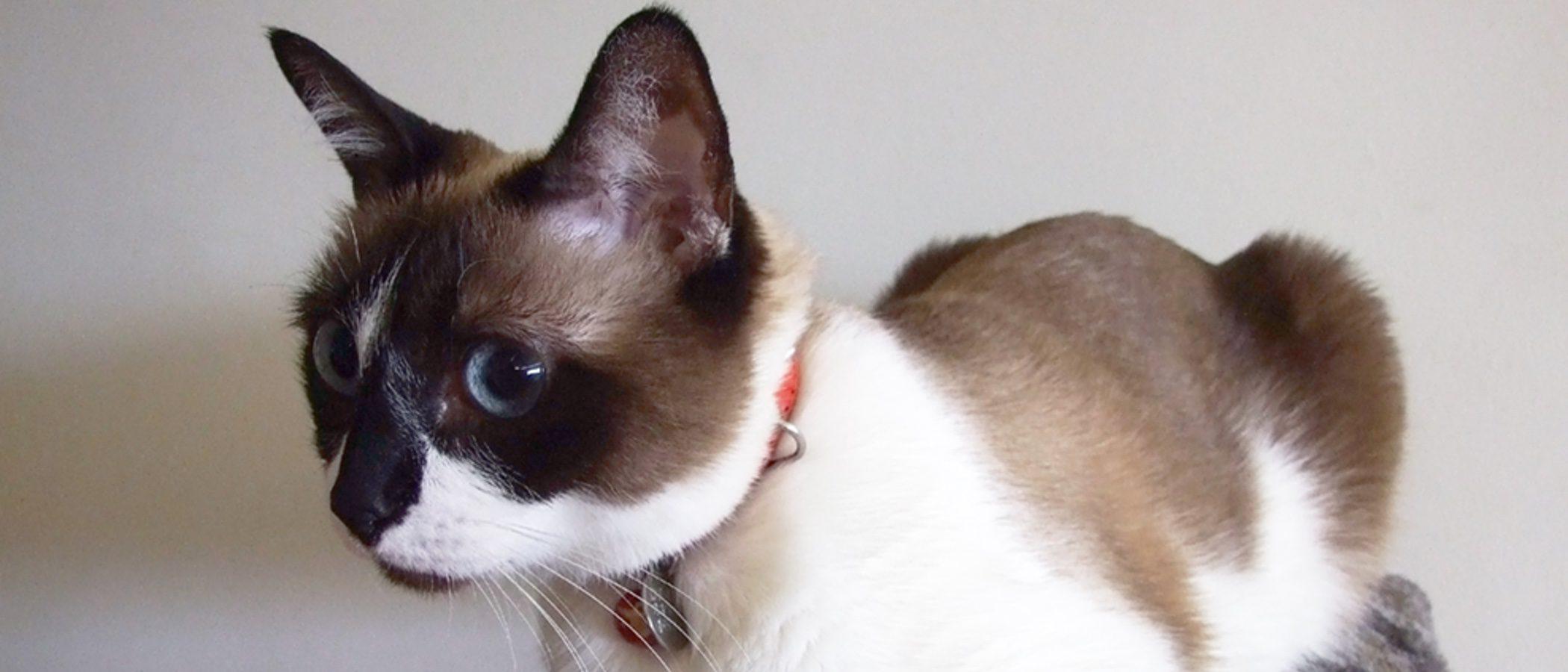 Gato Snowshoe: Todo sobre esta raza de felino