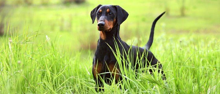 ¿Por qué mueven la cola los perros?