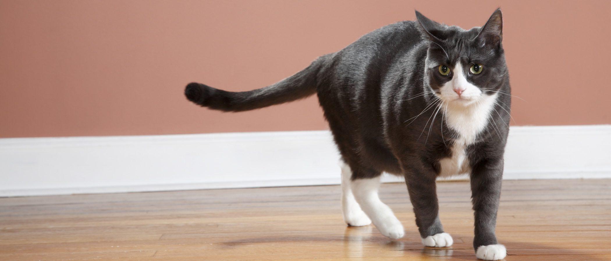 ¿Por qué mueven la cola los gatos?