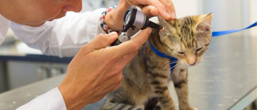 Otitis en gatos: Síntomas, causas y tratamiento
