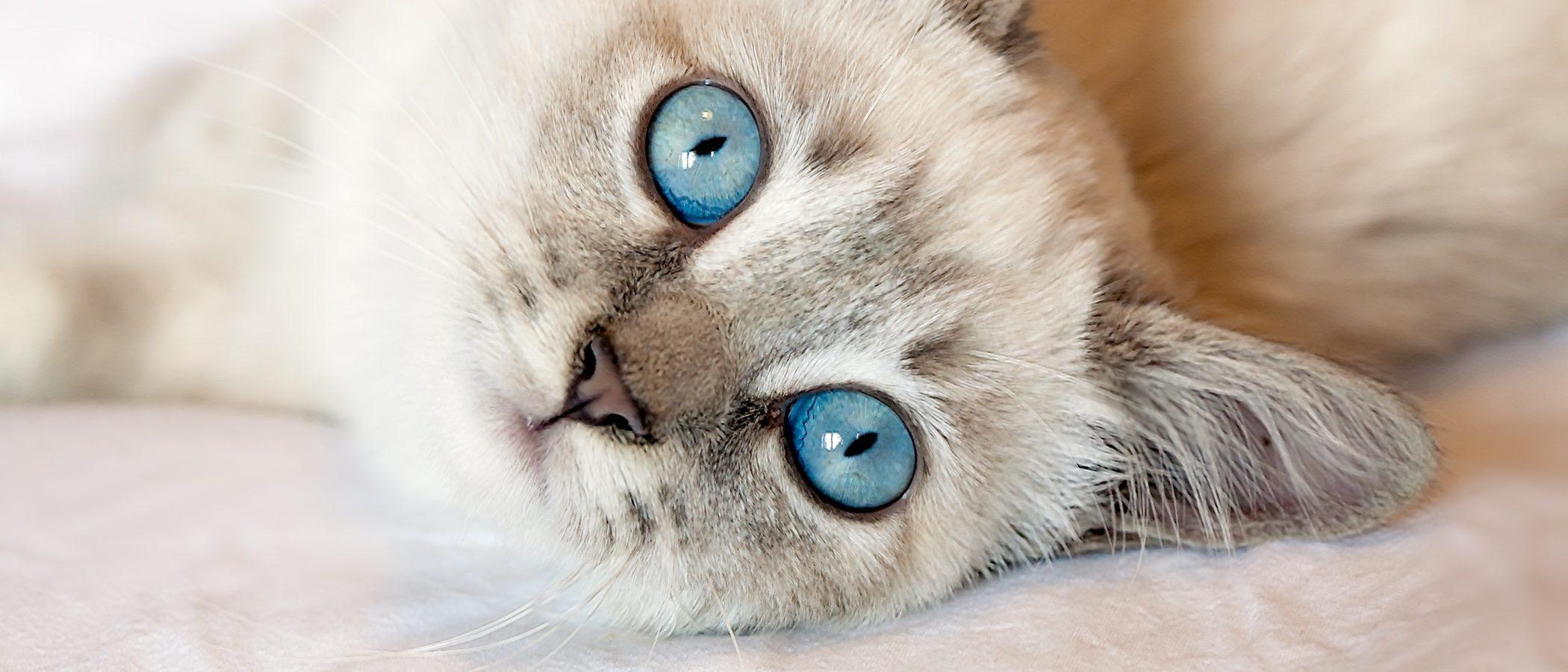 Cómo detectar si mi gato tiene problemas de visión