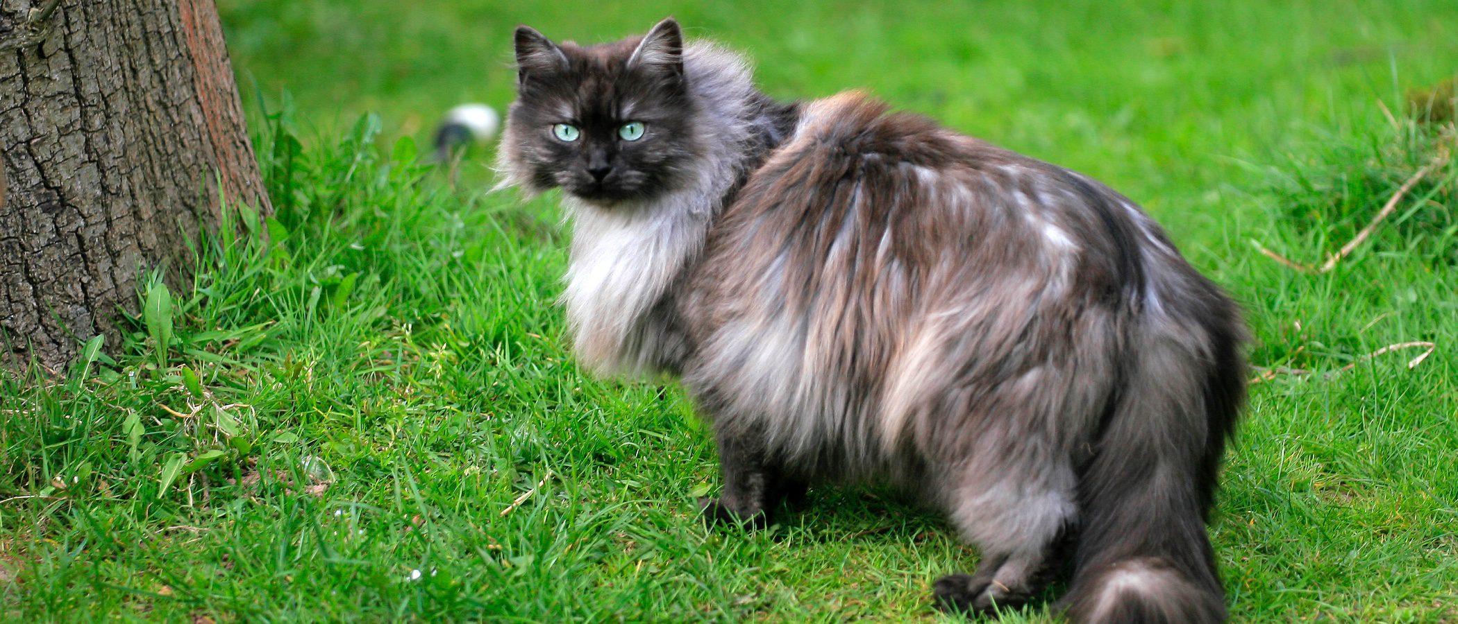 Gato Nebelung: Todo sobre esta raza de felino