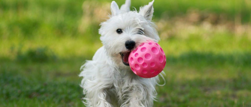 Cómo enseñar a mi perro a que devuelva la pelota