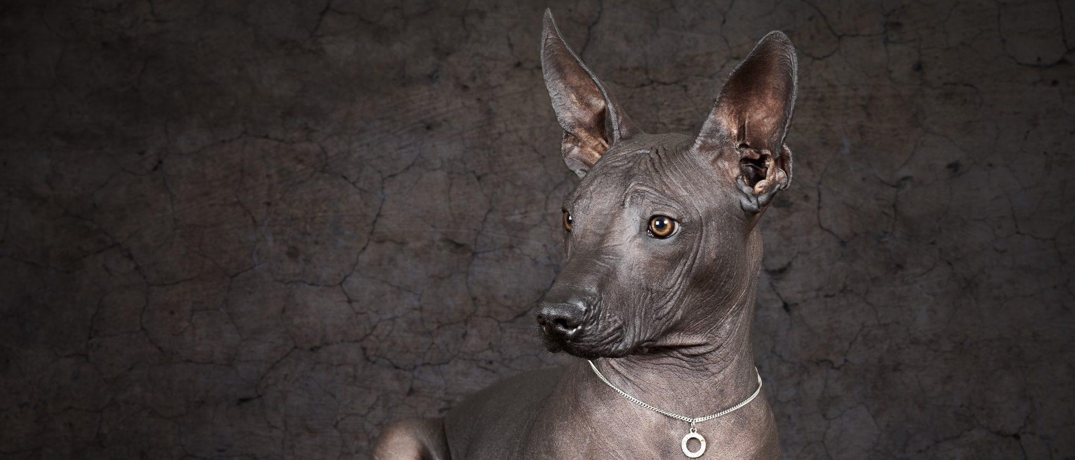 Razas de perros: Xoloitzcuintle