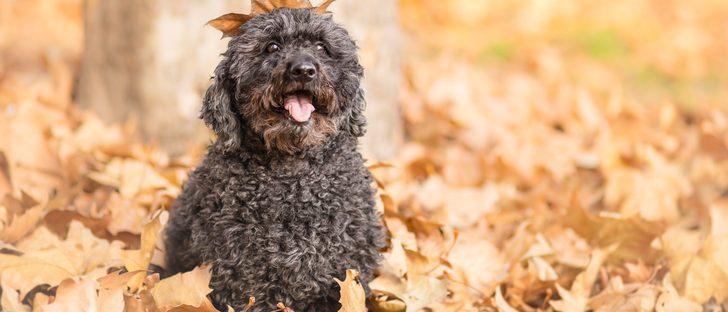Razas de perros: Puli