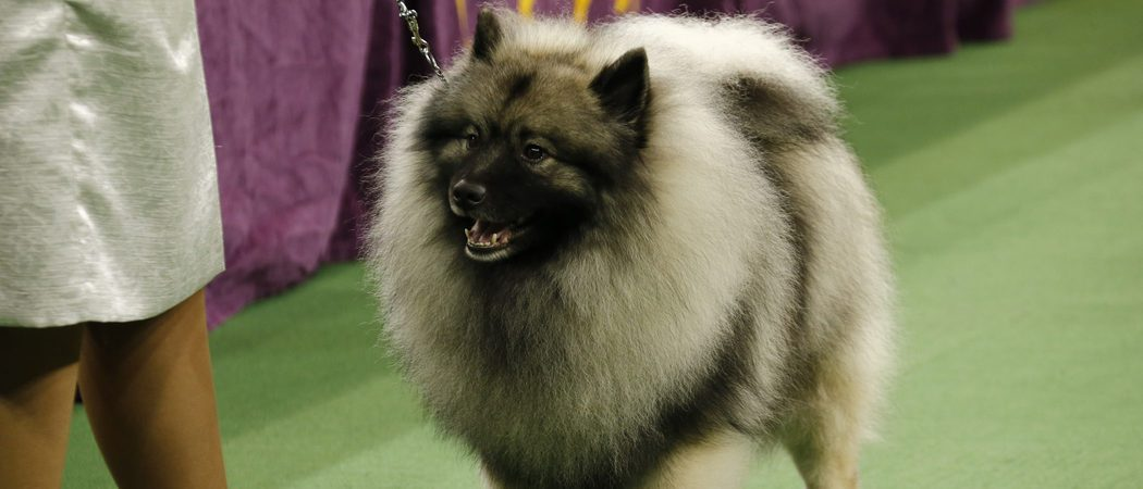 Razas de perros: Keeshond
