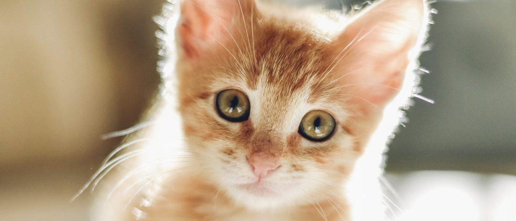 Gatos diabéticos: Síntomas y tratamiento