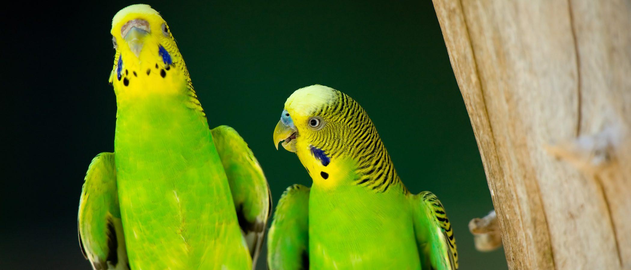 El periquito: Un pájaro fiel a su pareja de por vida