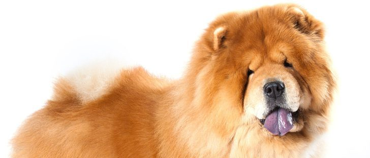 Chou Chou: conoce esta raza de perro