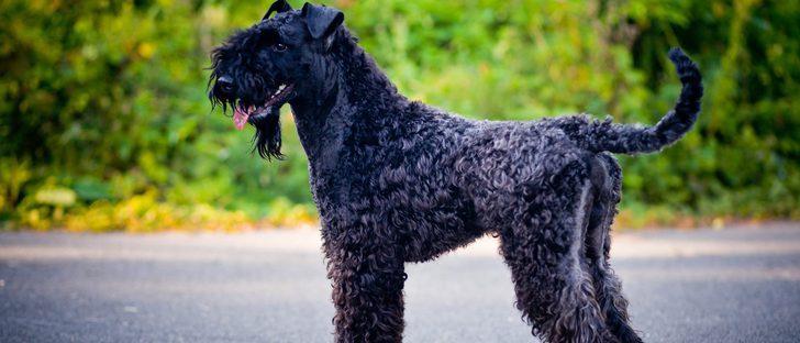 Razas de perros: Kerry Blue Terrier