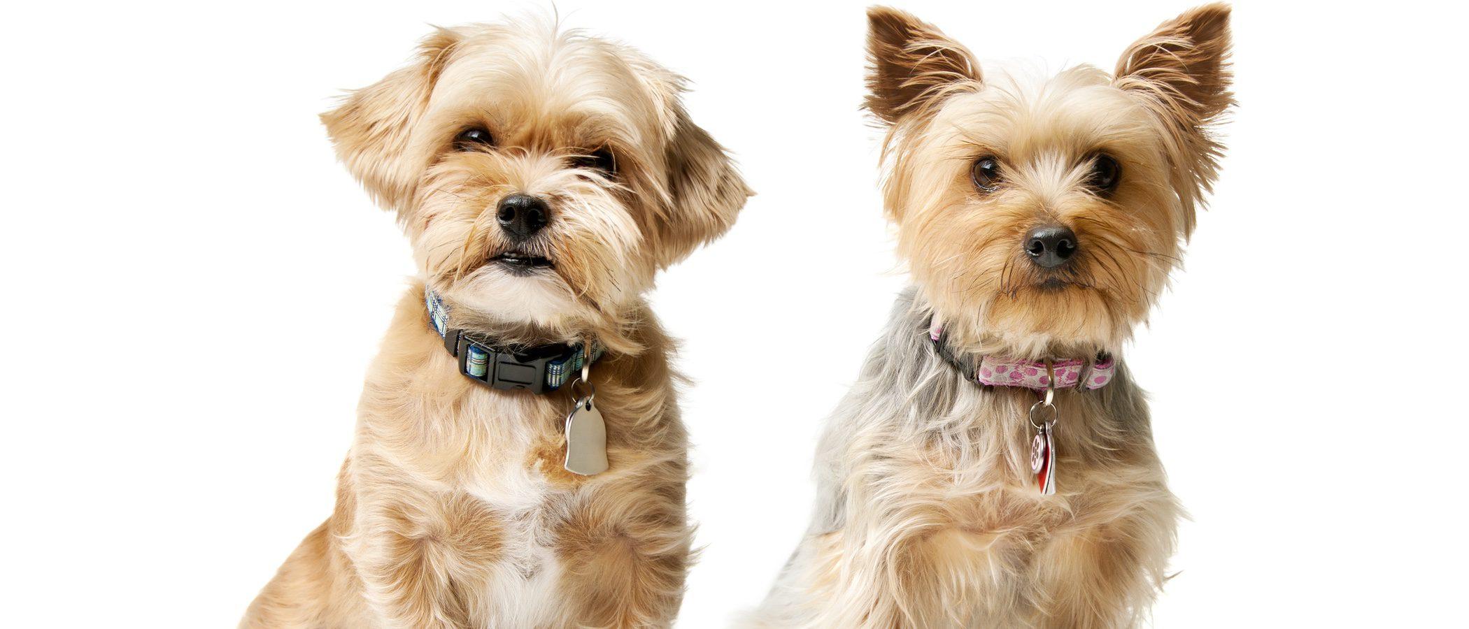 Razas de perros: Silky Terrier