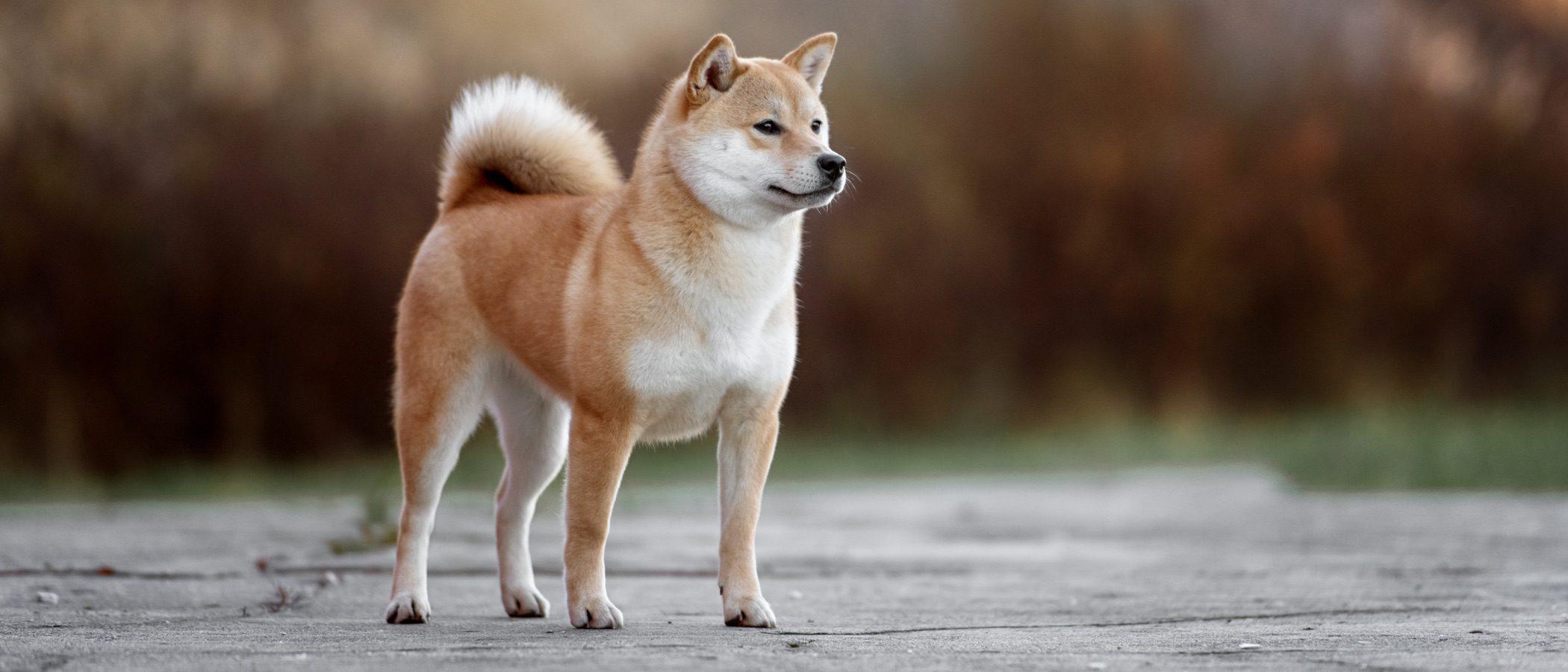 Akita, el entrañable perro de la película 'Hachiko'