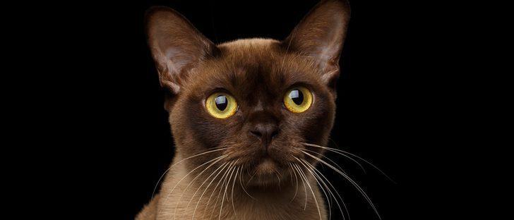 Burmés: Descubre todo sobre esta raza de felino