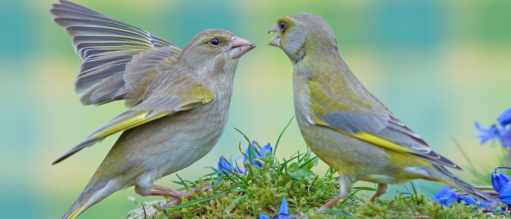 Verderón: conoce este tipo de pájaro