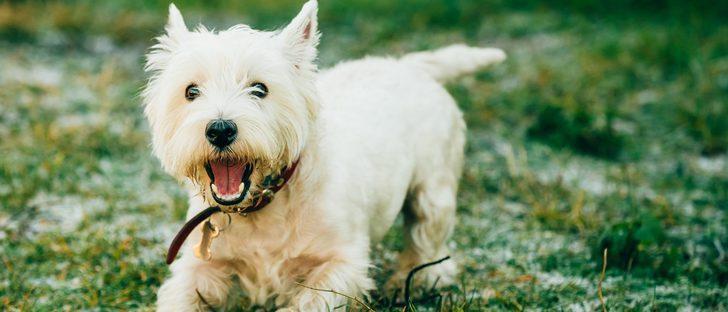 Razas de perros: Westie