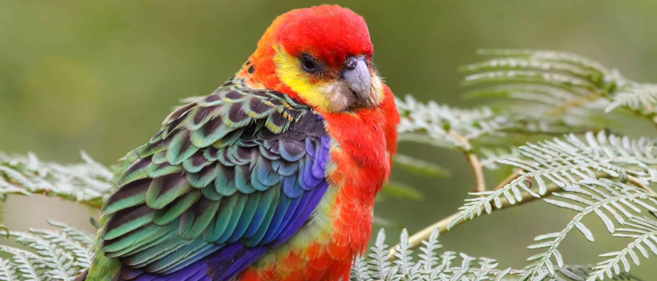 Rosella: un loro multicolor