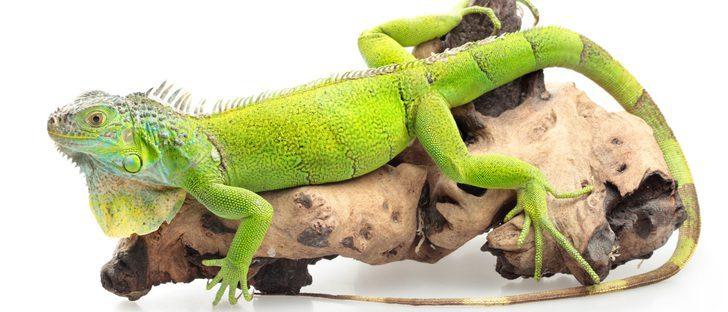 Iguana verde: todo lo que necesitas saber sobre este reptil
