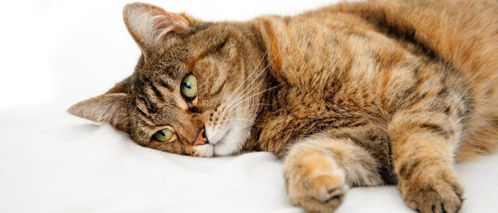 Conoce en qué consiste la dermatitis atópica felina. ¿Sabes cómo acabar con ella?