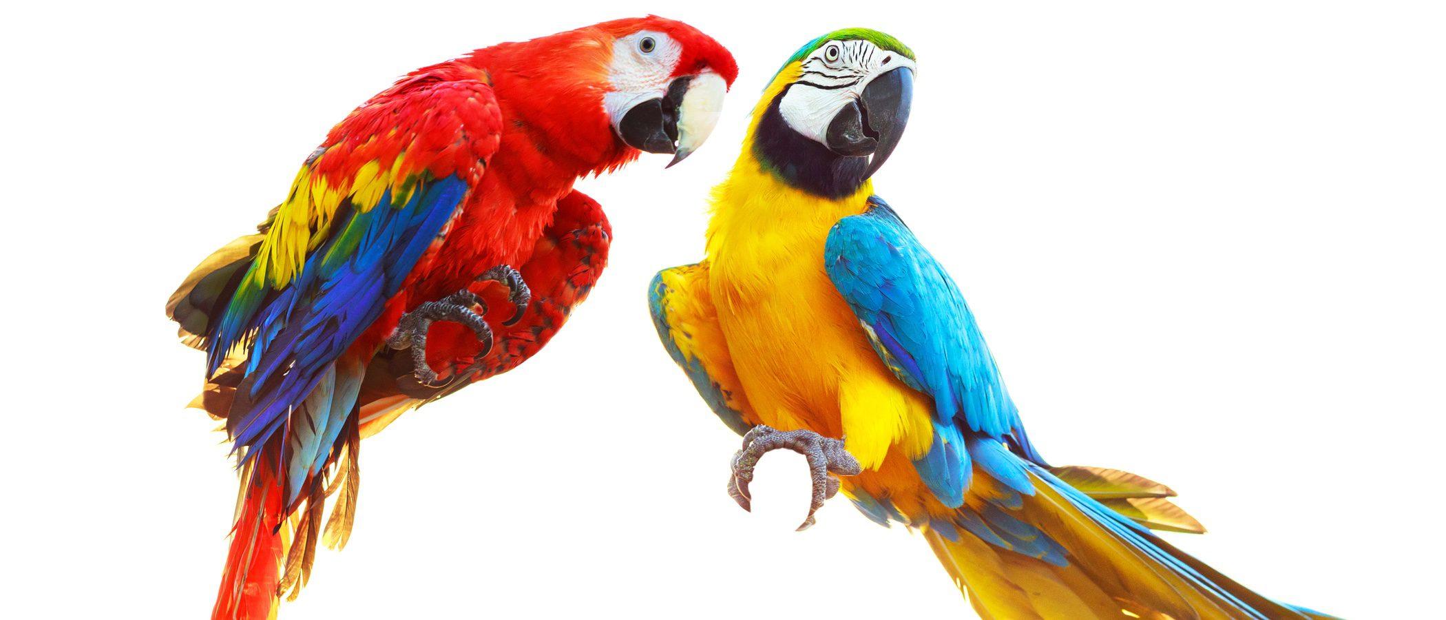 Cacatúa: un ave exótica y parlanchina