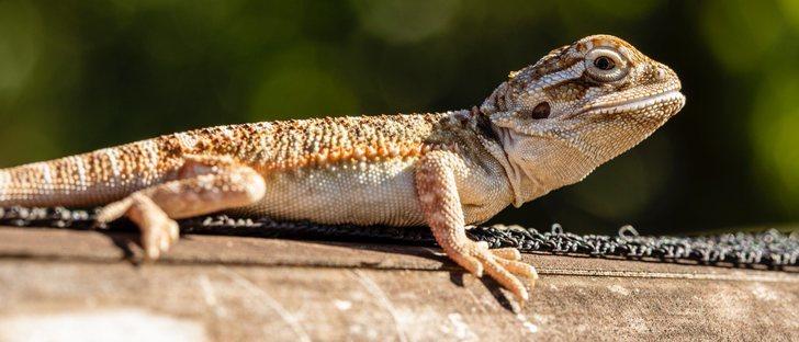 ¿Qué debemos saber antes de comprar un reptil?