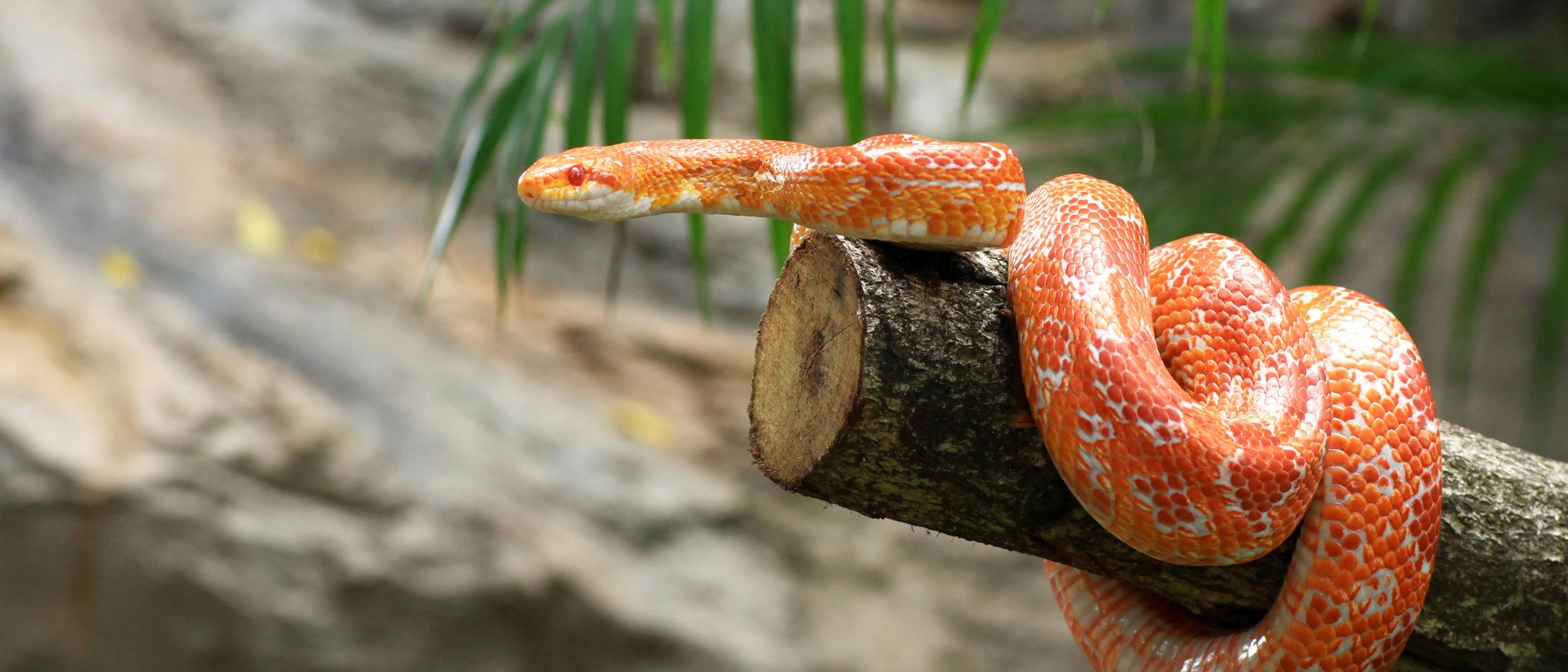 Serpiente de maíz: los cultivos, su lugar preferido
