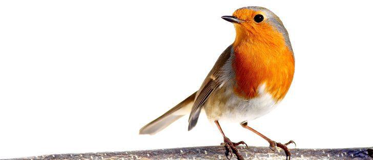 Las enfermedades más comunes en los pájaros
