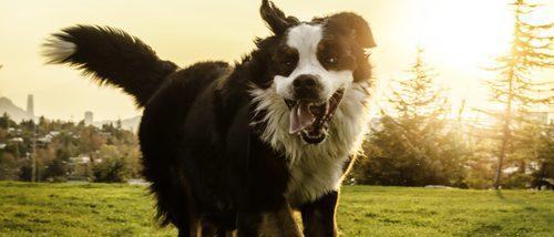 Boyero de Berna: conoce todo sobre esta raza de perro