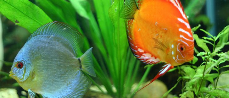 Cu les son los mejores peces de agua fr a bekia mascotas for Como cuidar peces de agua fria