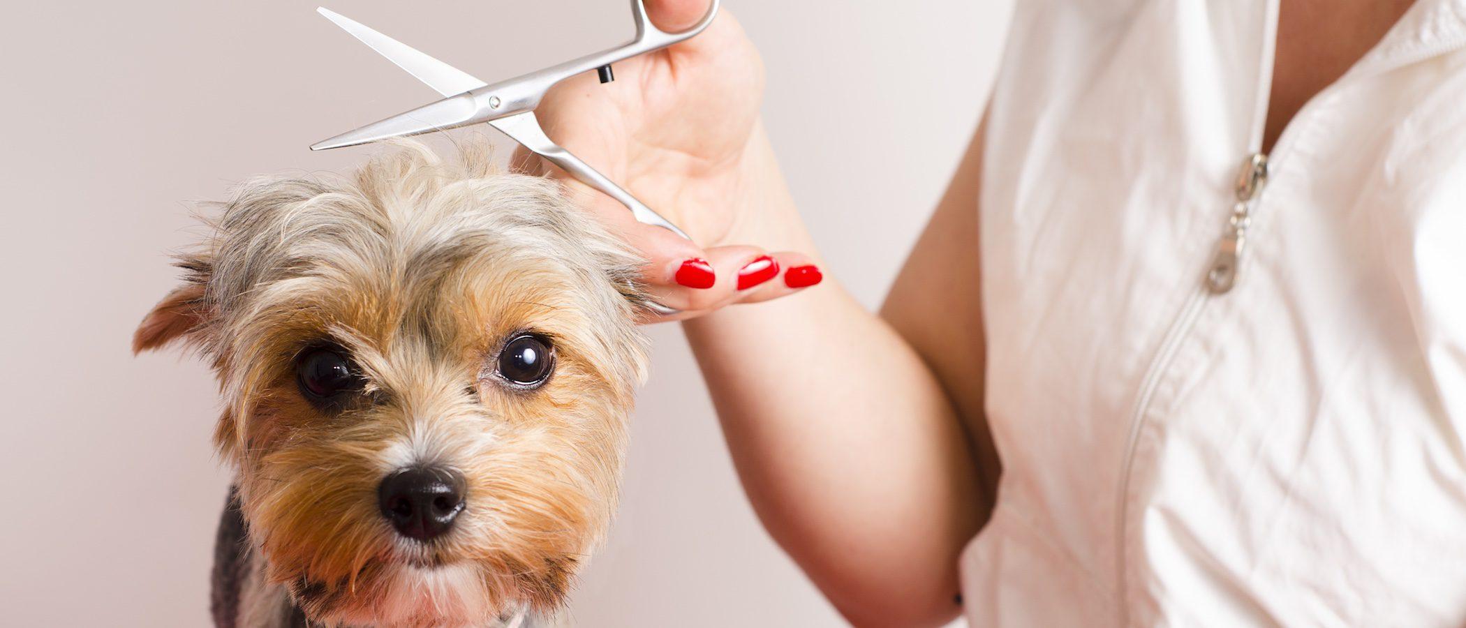 Stripping: El peluquero le quiere 'arrancar' el pelo a mi perro