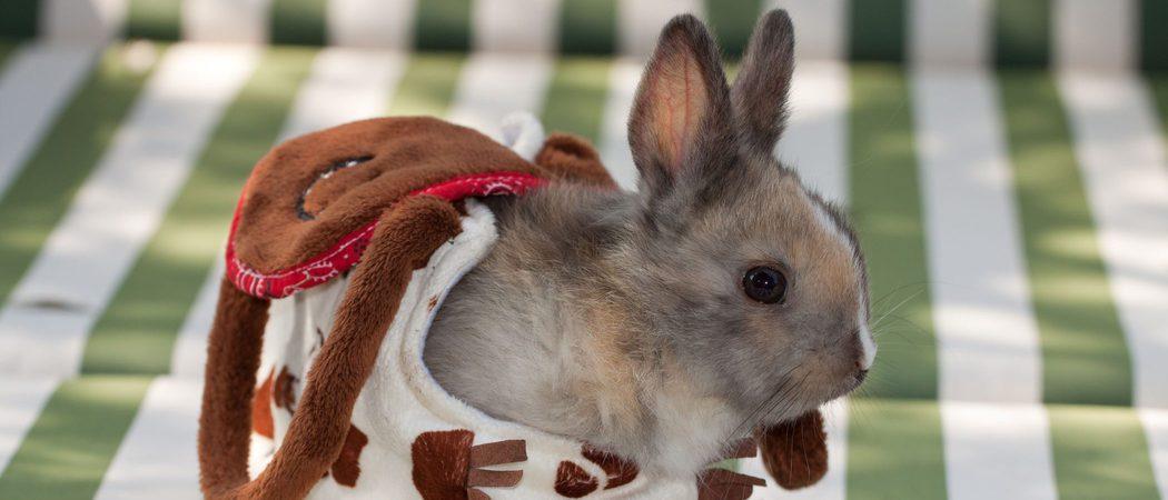 El conejo Toy: un conejo enano