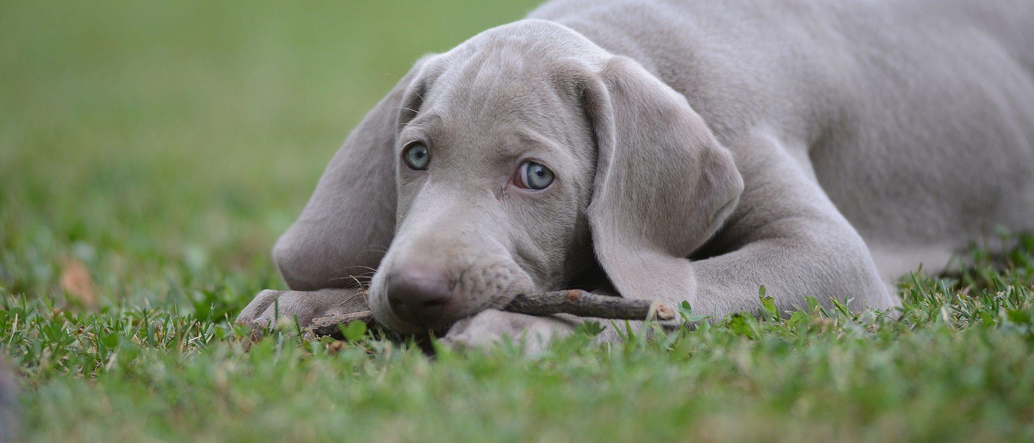 Razas de perros: Weimaraner