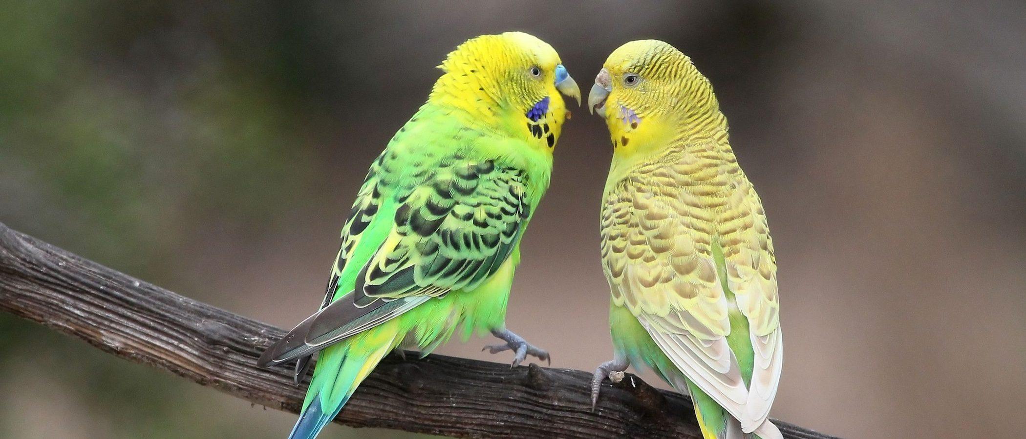 Periquito papillero: Conoce todo sobre este pájaro