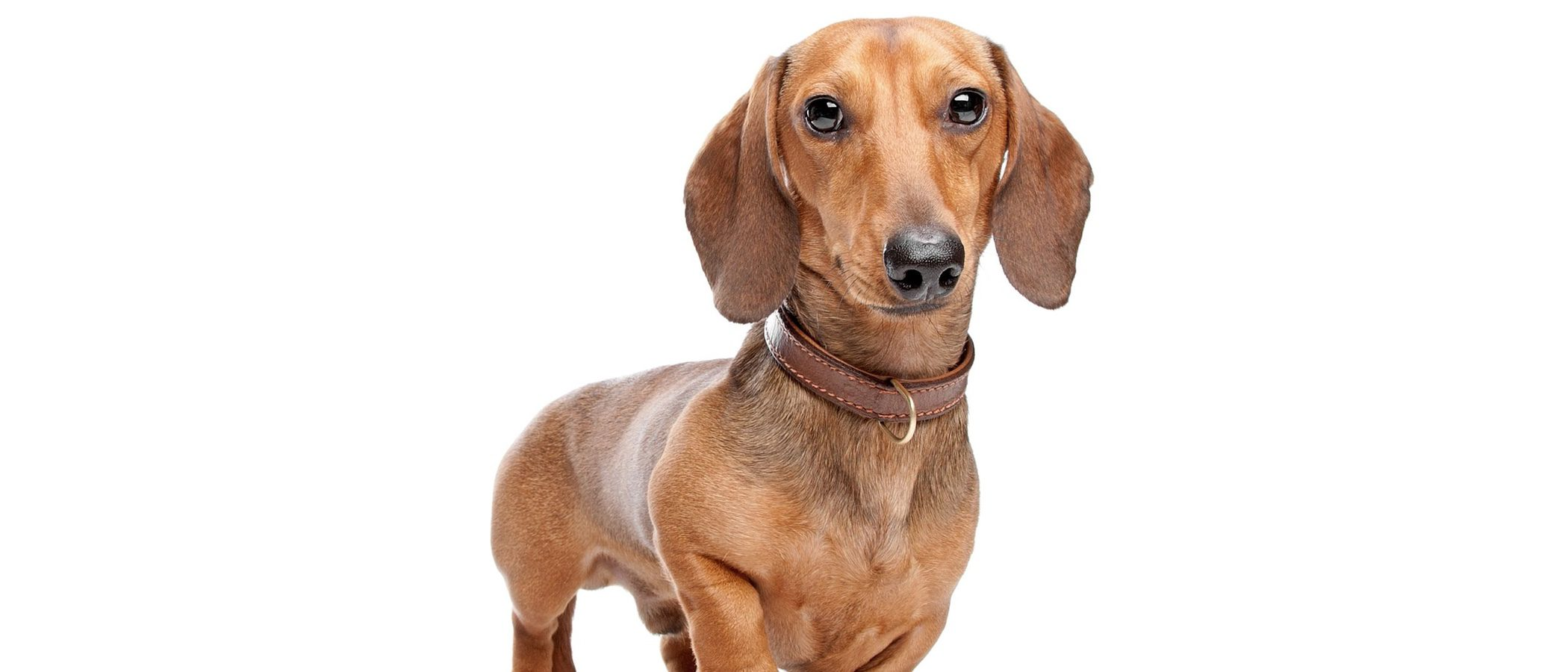 Teckel: Razas de perro