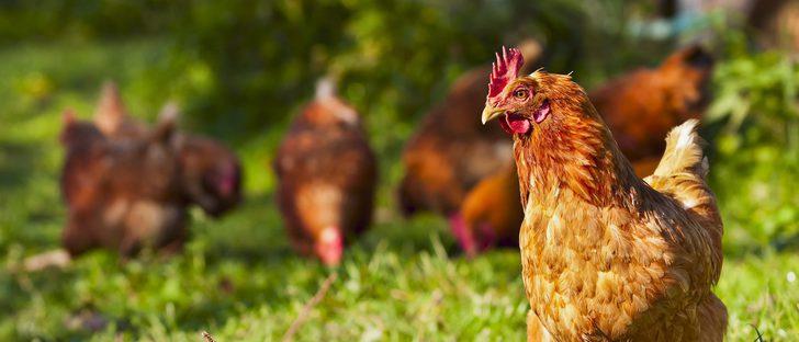 Razas de gallinas: conoce las razas españolas más importantes