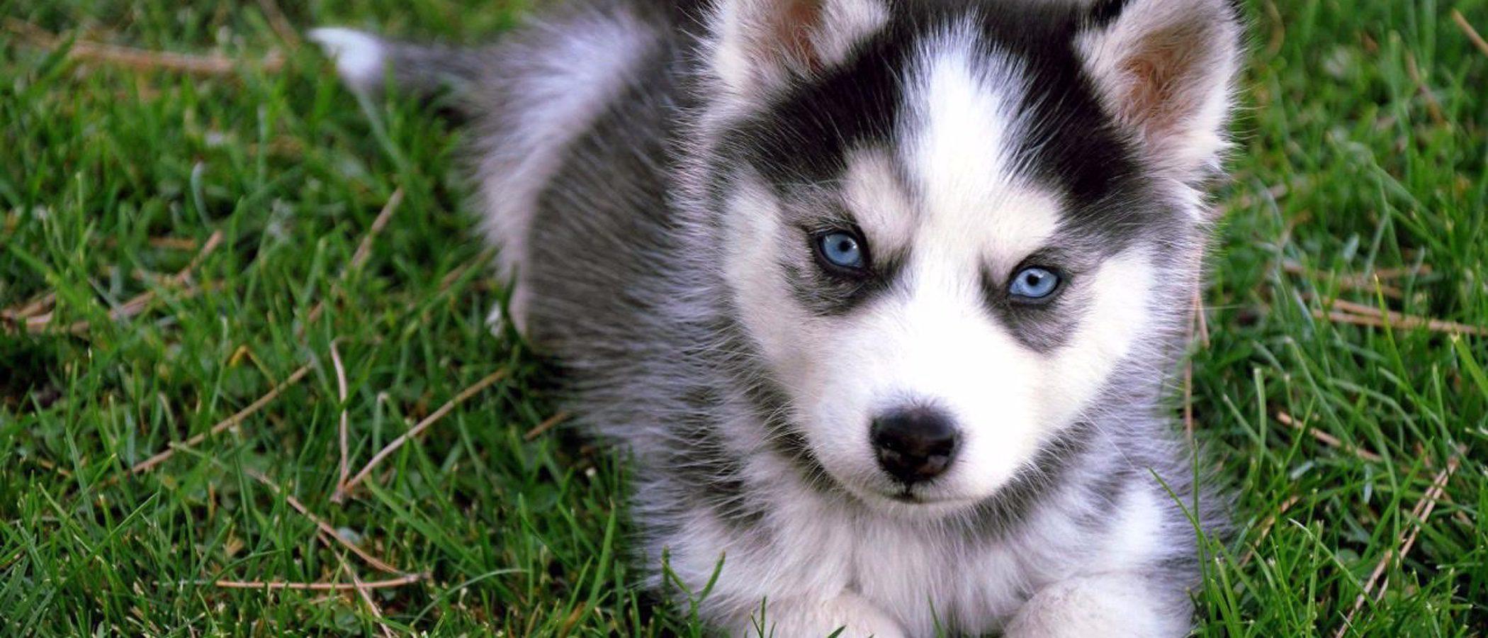 Pomsky: Razas de perro
