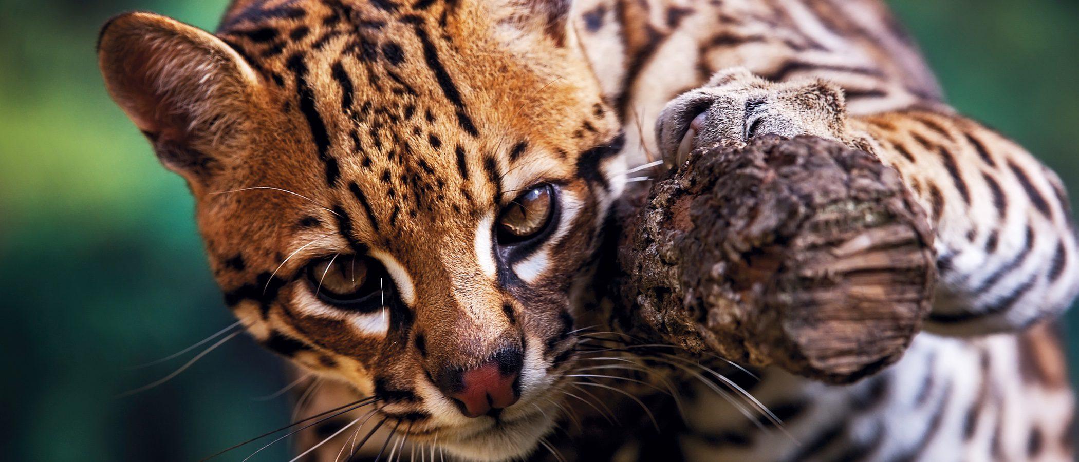 Ocelote: Un leopardo mini