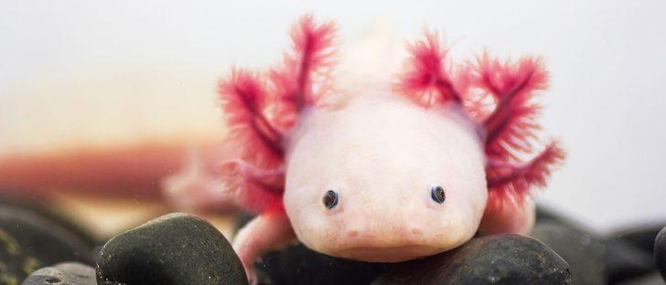 El ajolote, ¿una mascota de acuario?