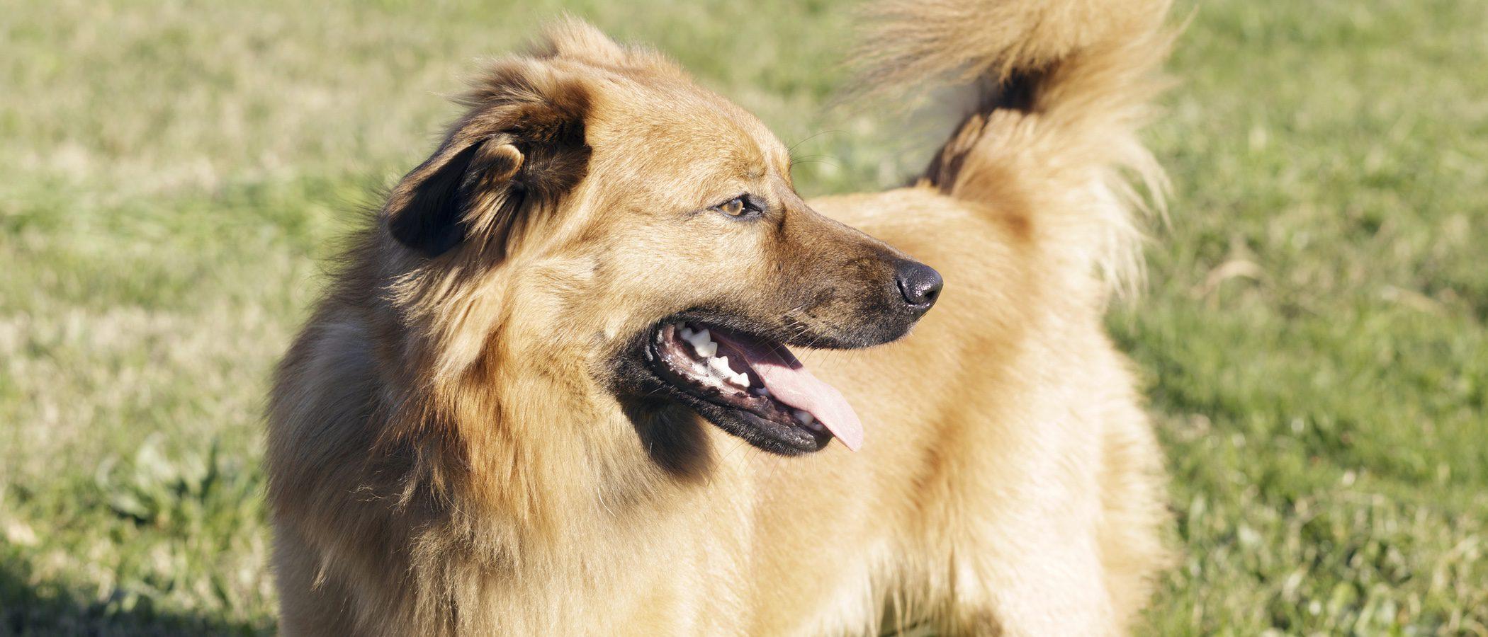 Pastor Vasco: Raza de perro