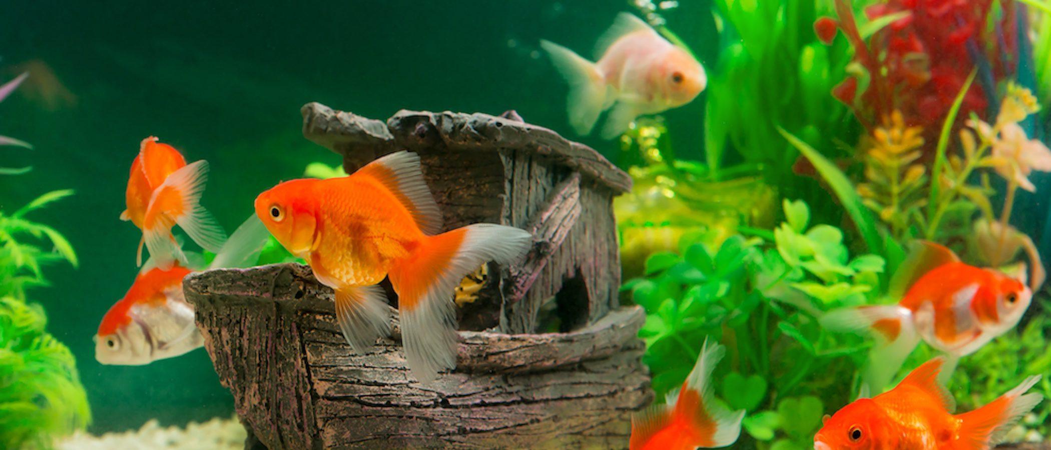 ¿Cuáles son los peces adecuados para principiantes?