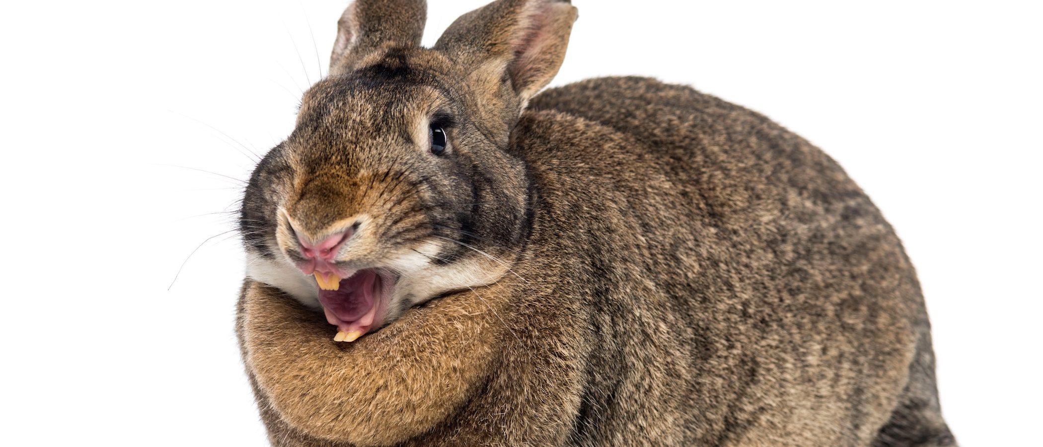 Los dientes del conejo: conoce lo más característico de estos roedores