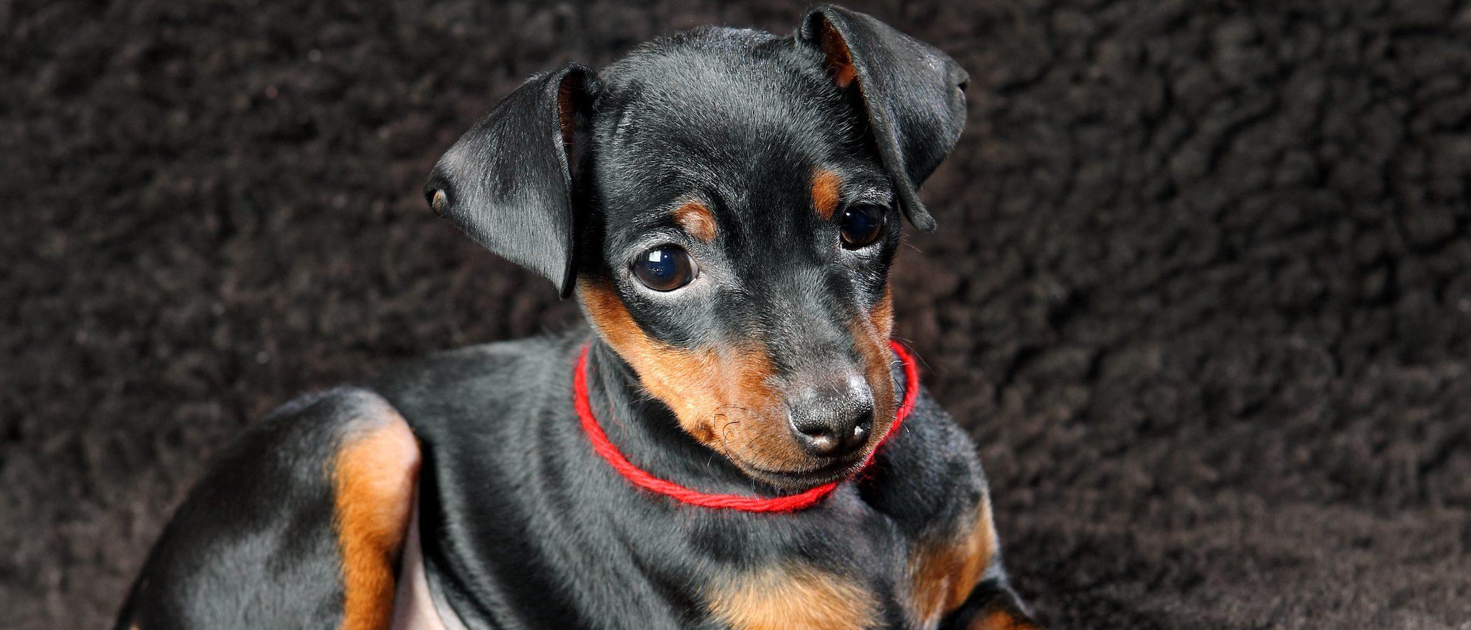 Doberman cachorro: Todo lo que necesitas saber