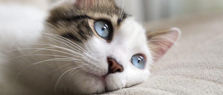 El ronroneo: La forma de comunicarse de los gatos