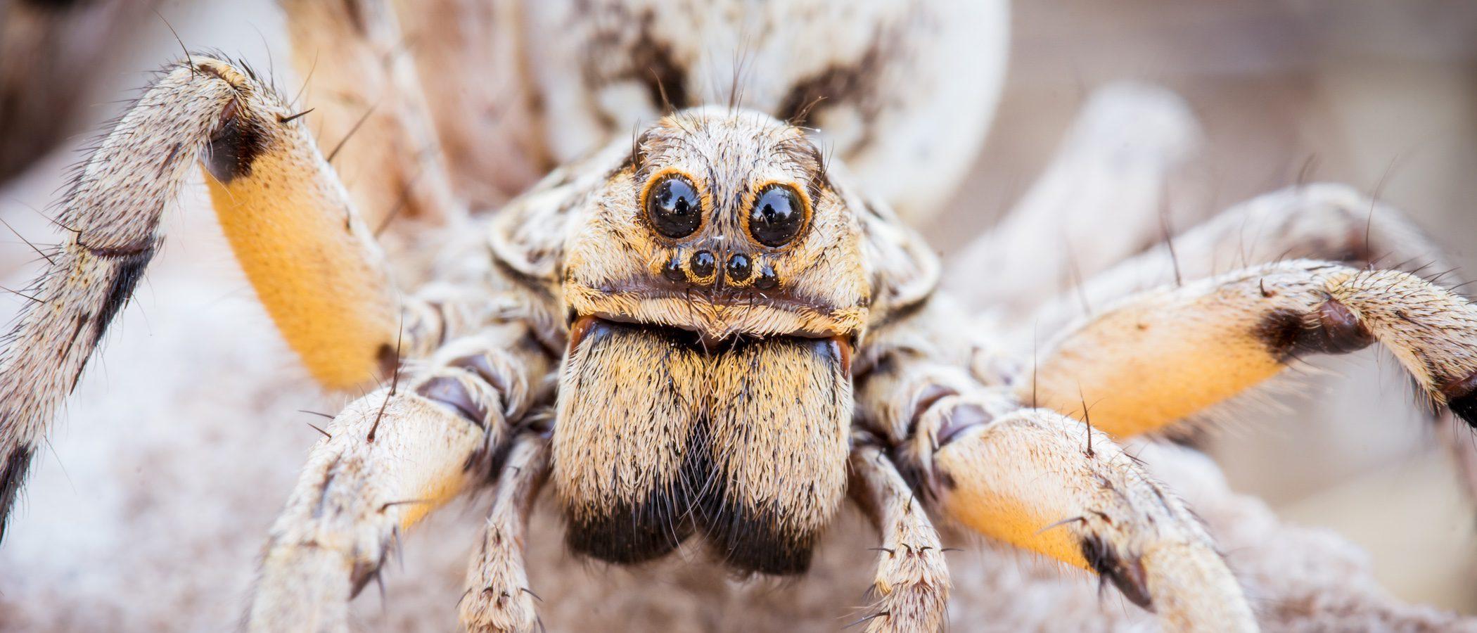 Mitos y verdades sobre las tarántulas
