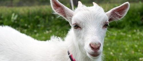 La cabra como animal doméstico, ¿la tendrías de mascota?