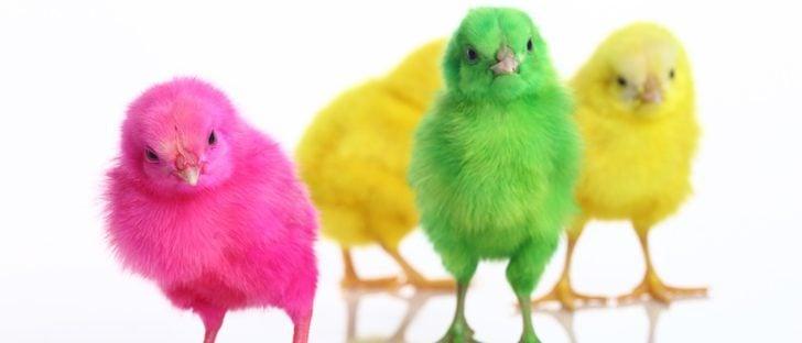 Pollitos de colores: Una práctica cruel