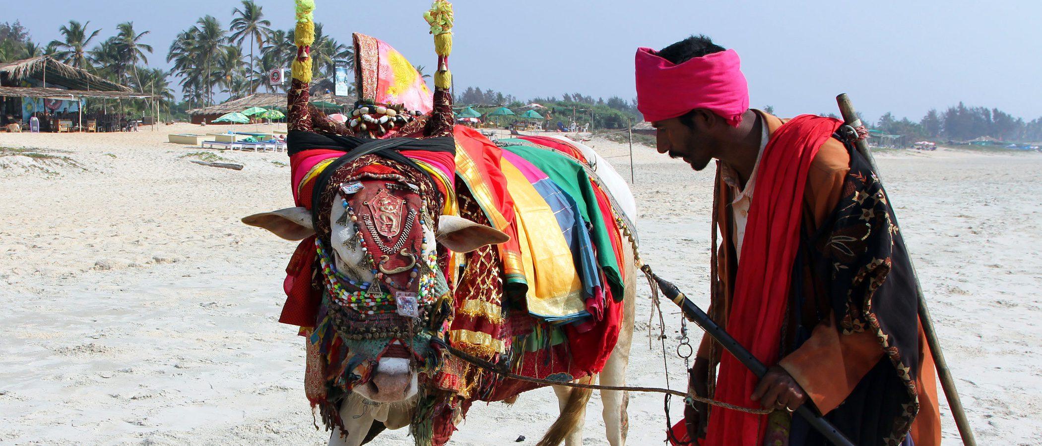 La historia de la vaca sagrada de la India