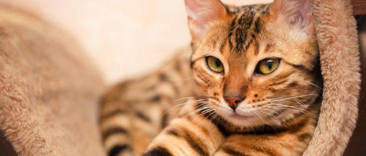 Cómo saber si tu gata está en celo