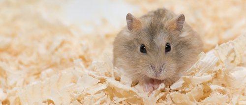 Hámster: todo lo que tienes que saber sobre este pequeño roedor